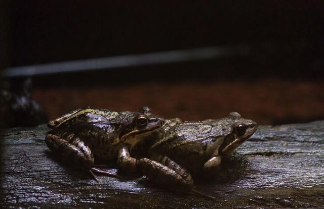つがいの蛙の写真