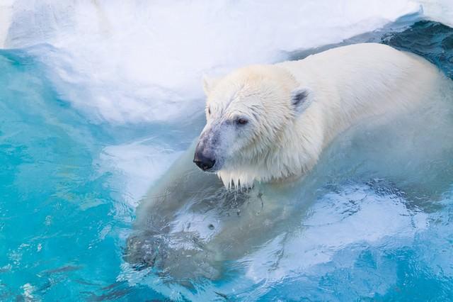 白クマ冷えてます。の写真