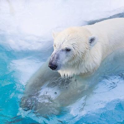 「白クマ冷えてます。」の写真素材