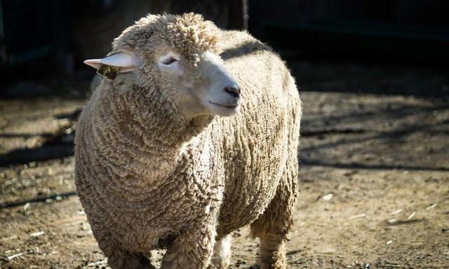 穏やかな表情の羊の写真