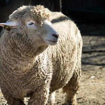 「穏やかな表情の羊」の写真素材