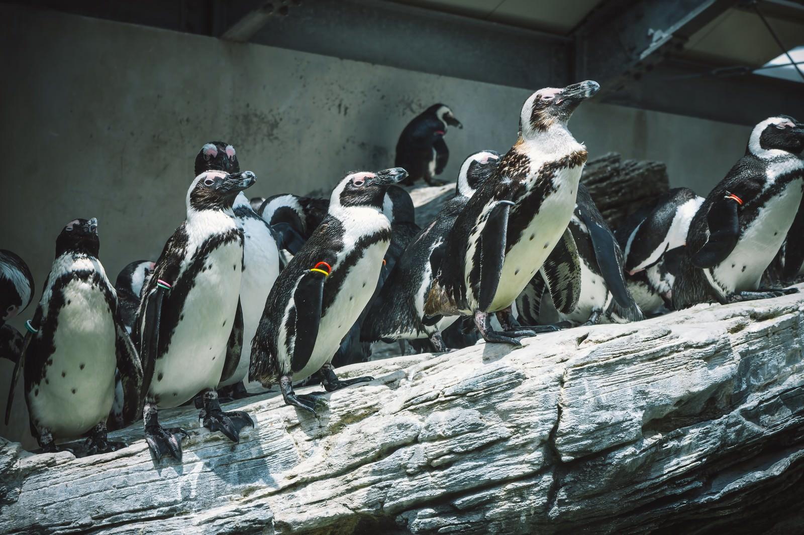 「岩場のペンギン」の写真
