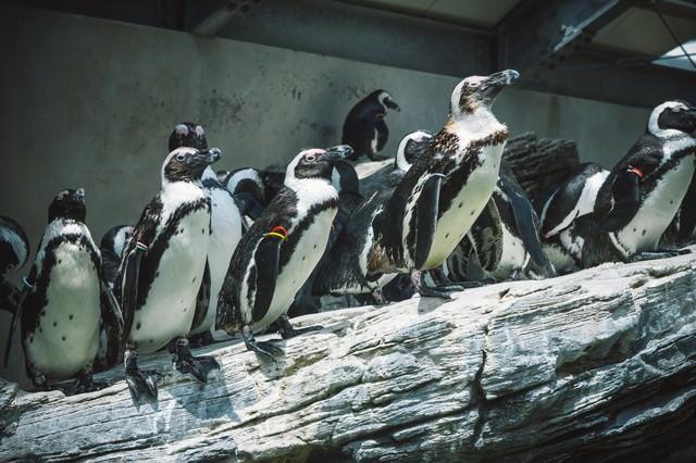 岩場のペンギンの写真