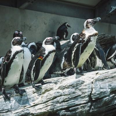 「岩場のペンギン」の写真素材