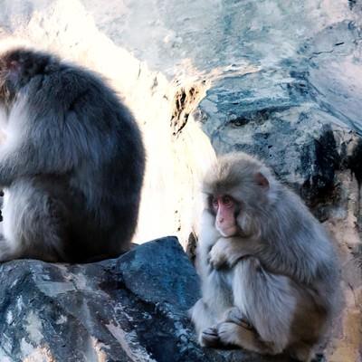 「「俺、会社辞めようと思うんだ」と語りそうな猿」の写真素材