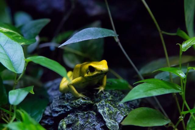 黄色い毒カエルの写真