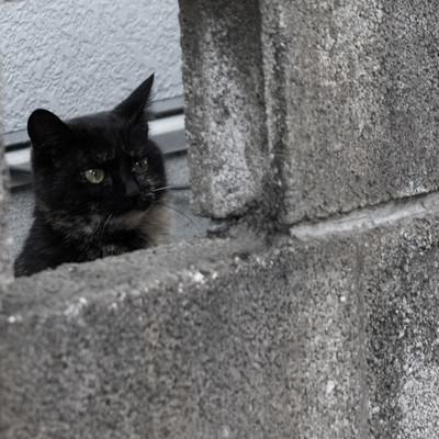 「ブロック塀の隙間からネッコ」の写真素材