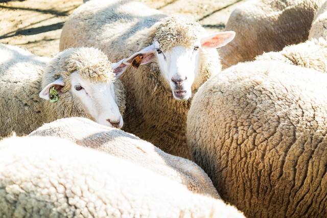 もこもこの羊の群れの写真