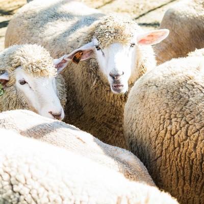 「もこもこの羊の群れ」の写真素材