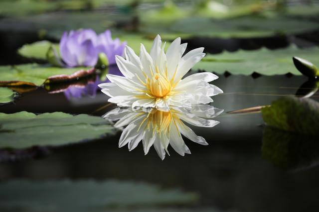 湖面に反射する睡蓮の花の写真
