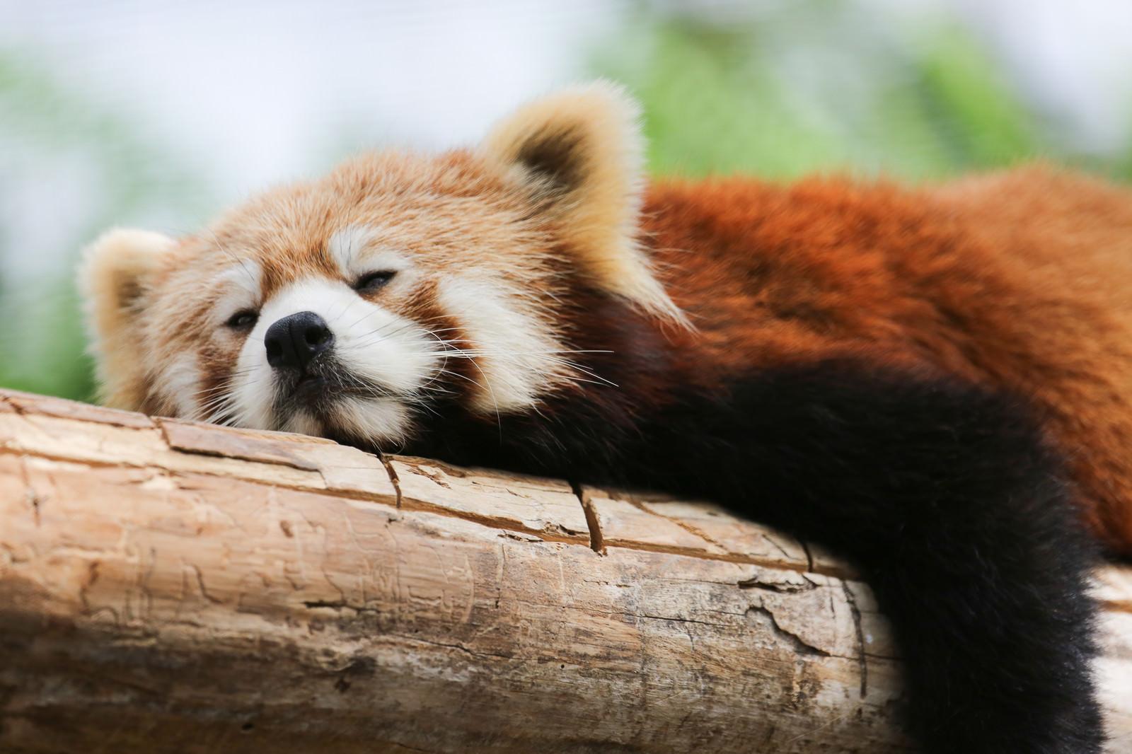 「木の上で寝落ちするレッサーパンダ」