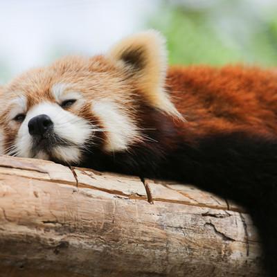 木の上で寝落ちするレッサーパンダの写真