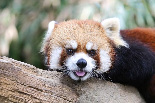 舌を出してキョトンとするレッサーパンダの写真