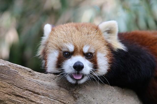 つぶらな瞳で見つめるレッサーパンダの写真