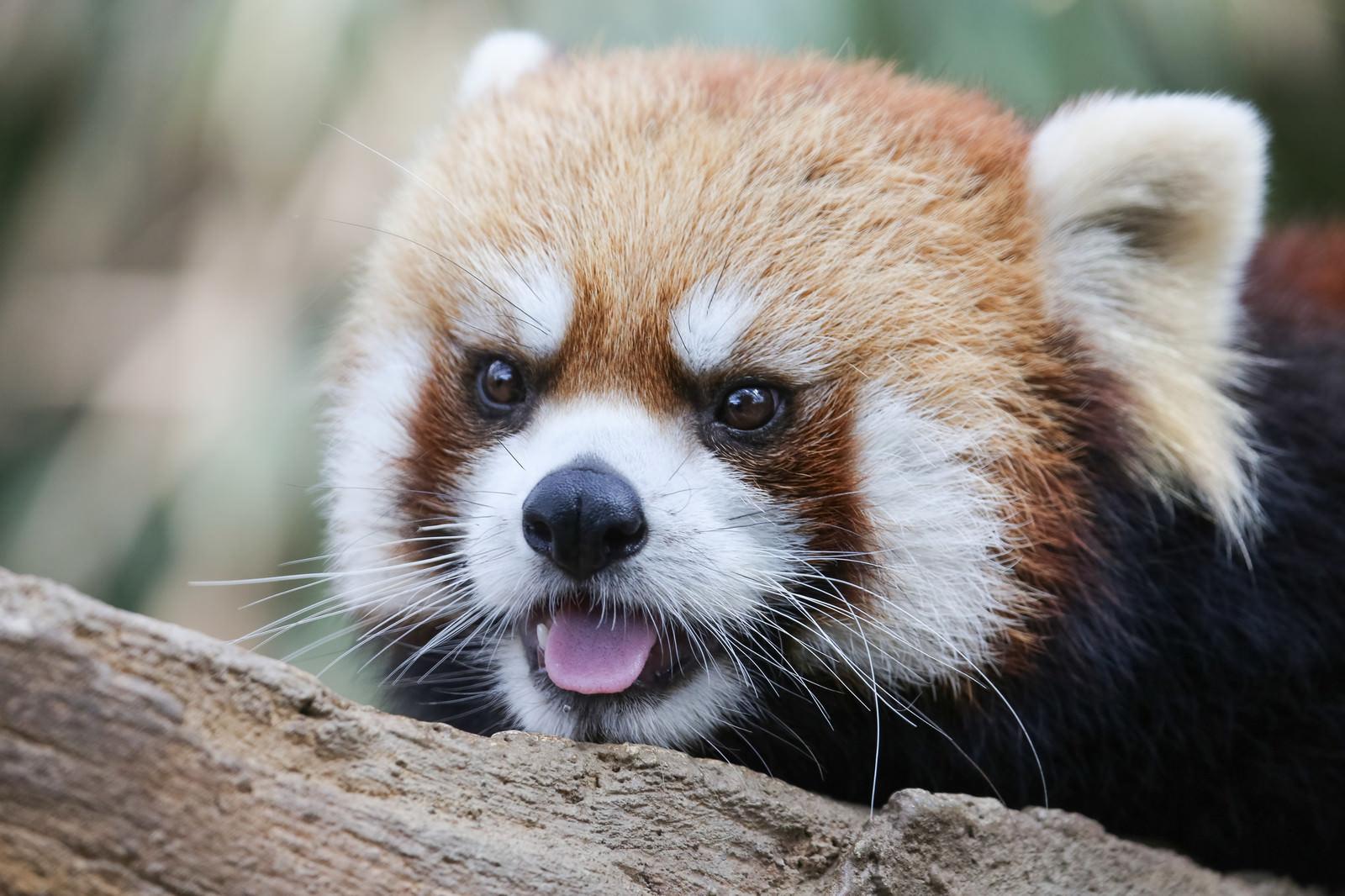 「ンベー(レッサーパンダ)」の写真