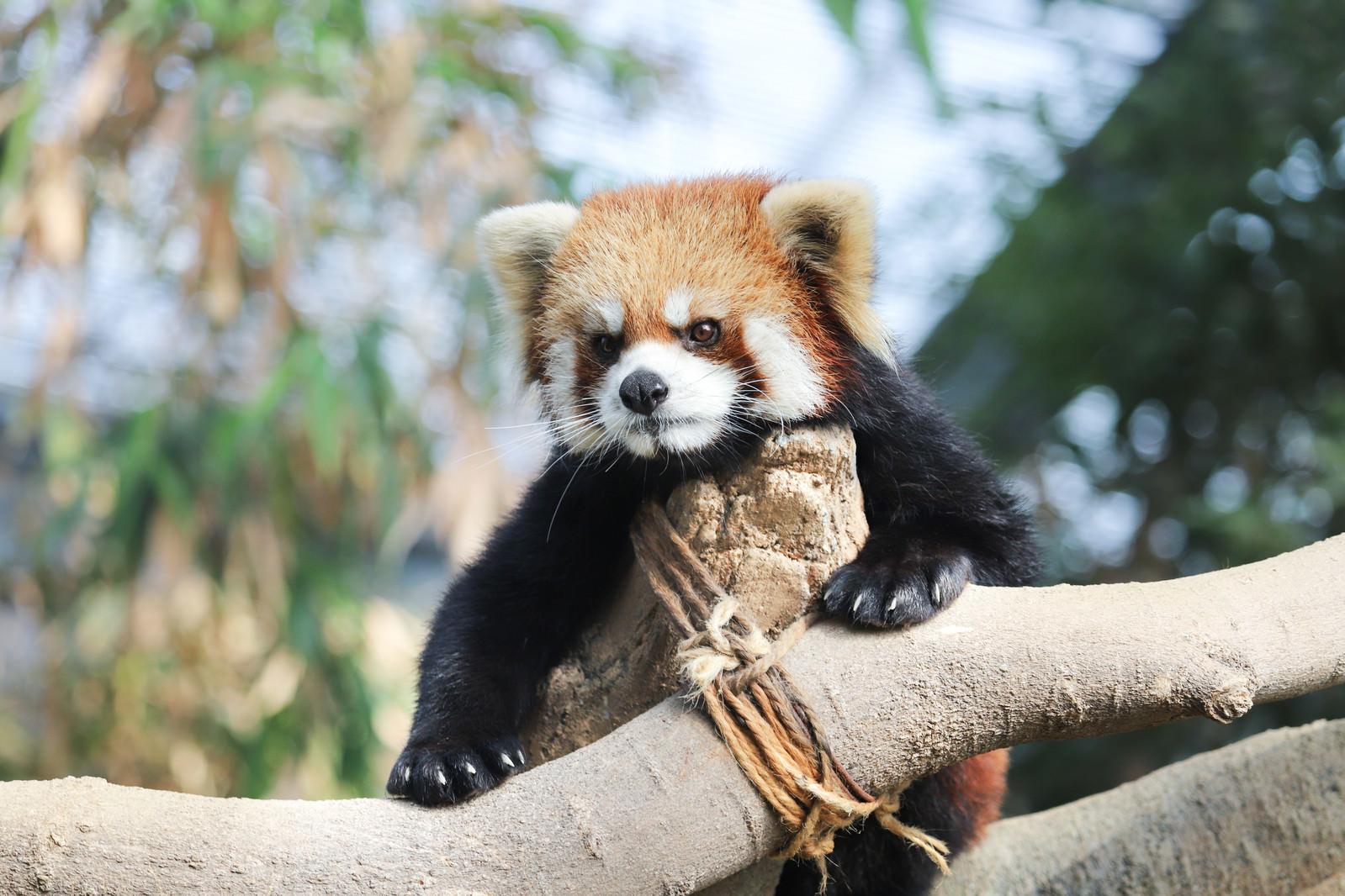 「木に登り辺りを見回すレッサーパンダ」の写真