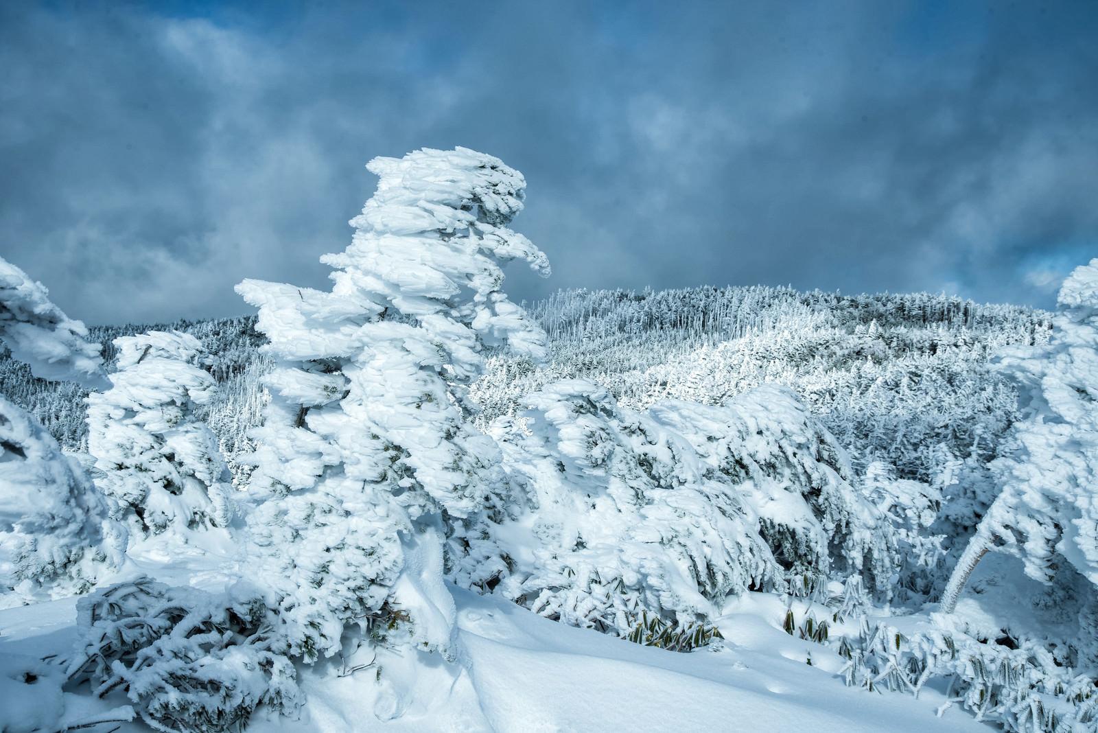 「厳冬期の大きく育ったエビの尻尾(樹氷)」の写真