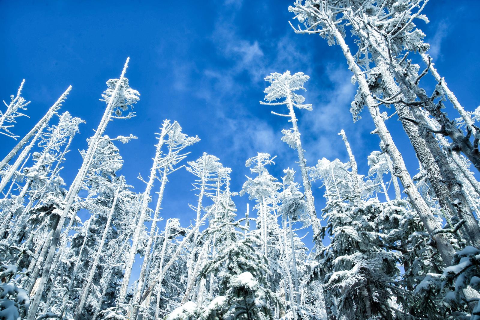 「屹立する樹氷と青空」の写真