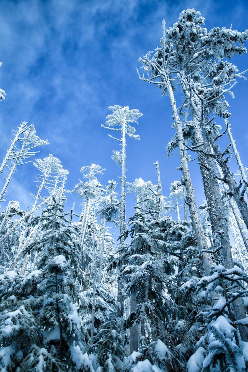 「青空に向かって屹立する樹氷」の写真