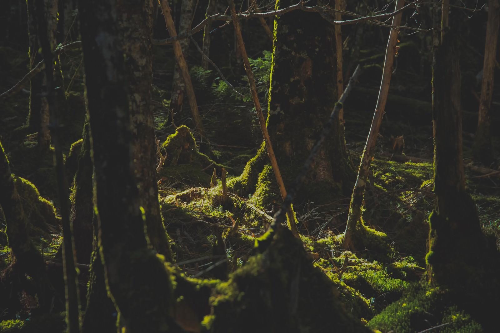 「苔生すた八ヶ岳の森に差し込む光」の写真