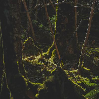 苔生すた八ヶ岳の森に差し込む光の写真