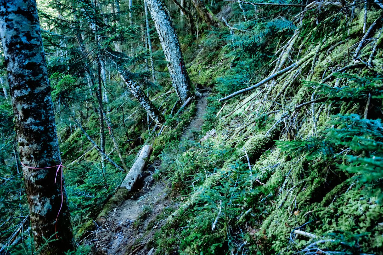 「苔生した木々と登山道(八ヶ岳)」の写真