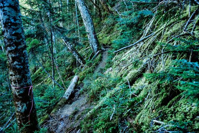 苔生した木々と登山道(八ヶ岳)の写真