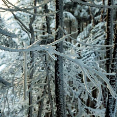 長く伸びる樹氷の枝の写真