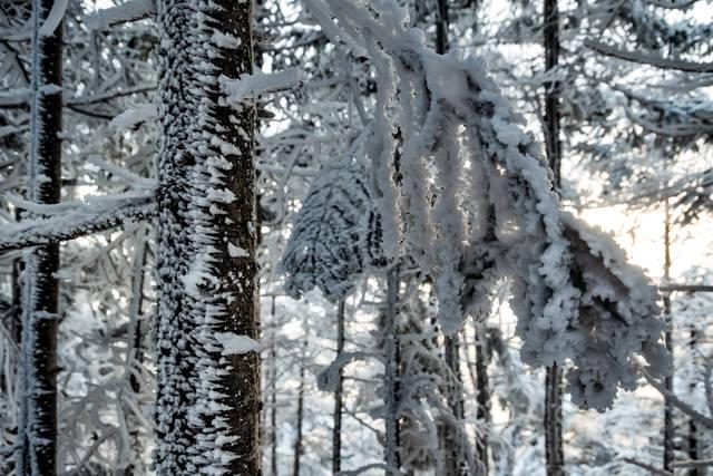氷が張り付く木々の写真
