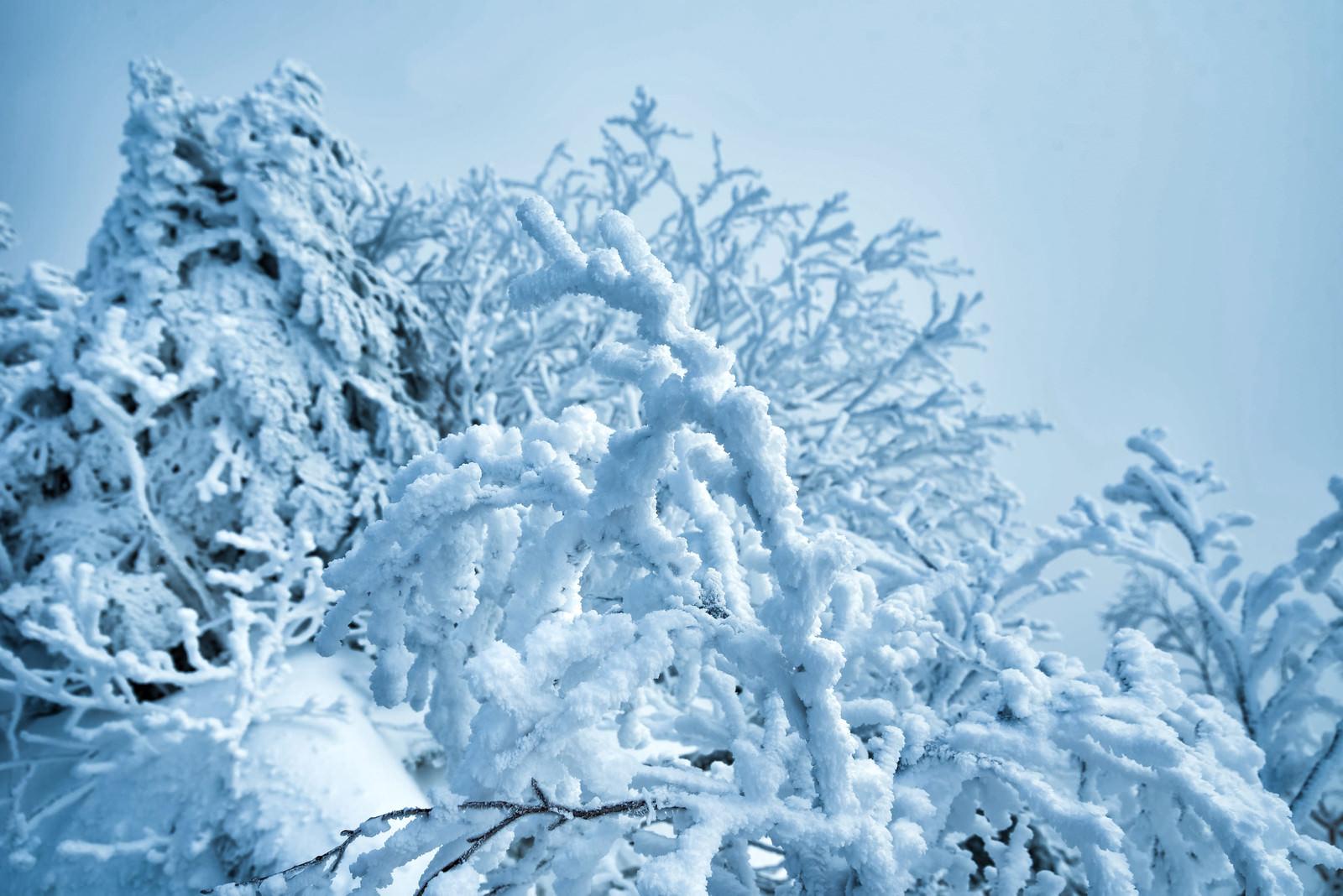「雪でモコモコになる木の枝」の写真