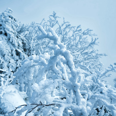 雪でモコモコになる木の枝の写真