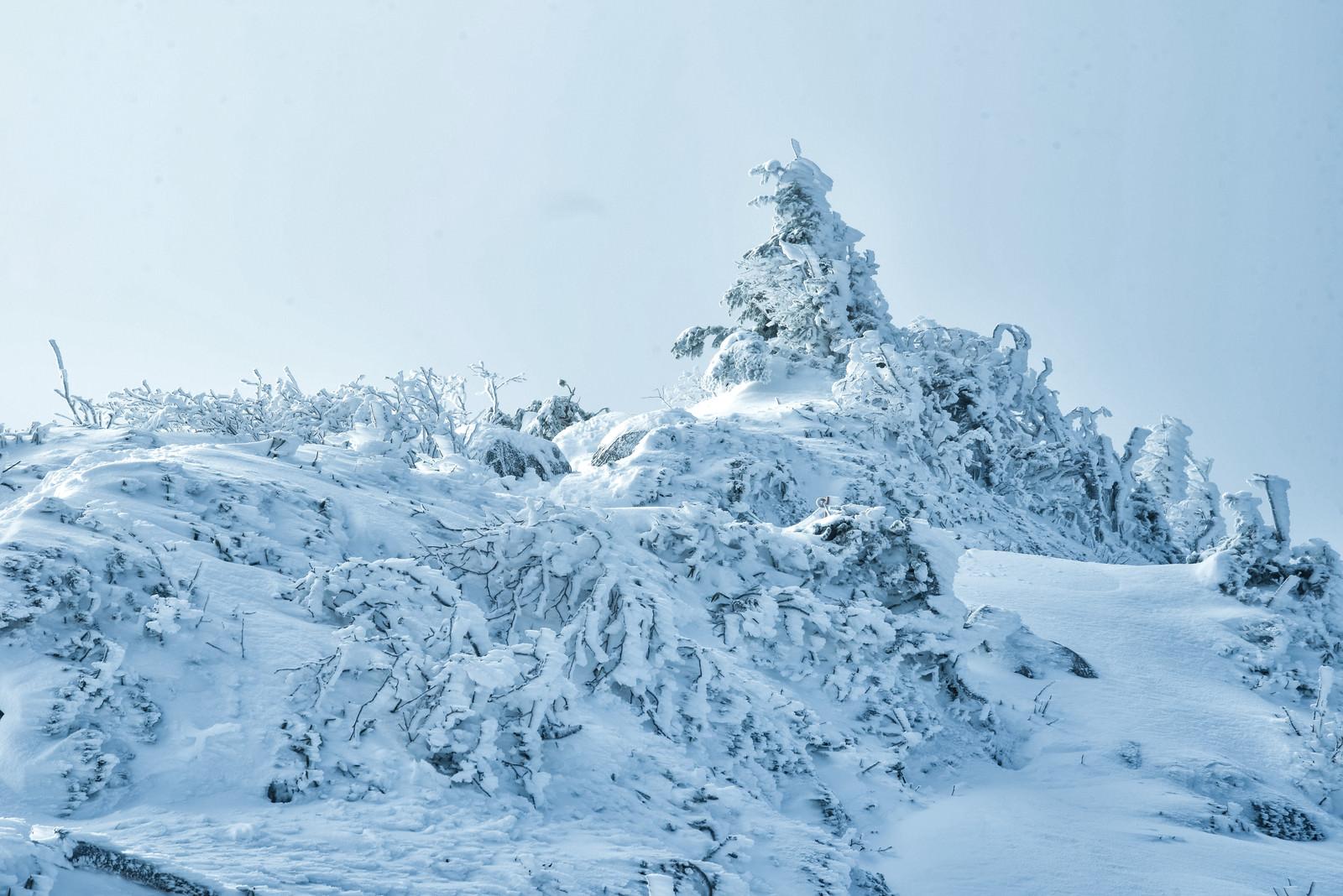 「雪に埋もれる樹木(厳冬期の山)」の写真