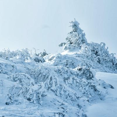 雪に埋もれる樹木(厳冬期の山)の写真