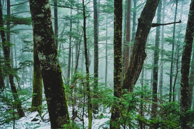 朝霧立ち込める積雪の森(北八ヶ岳)の写真