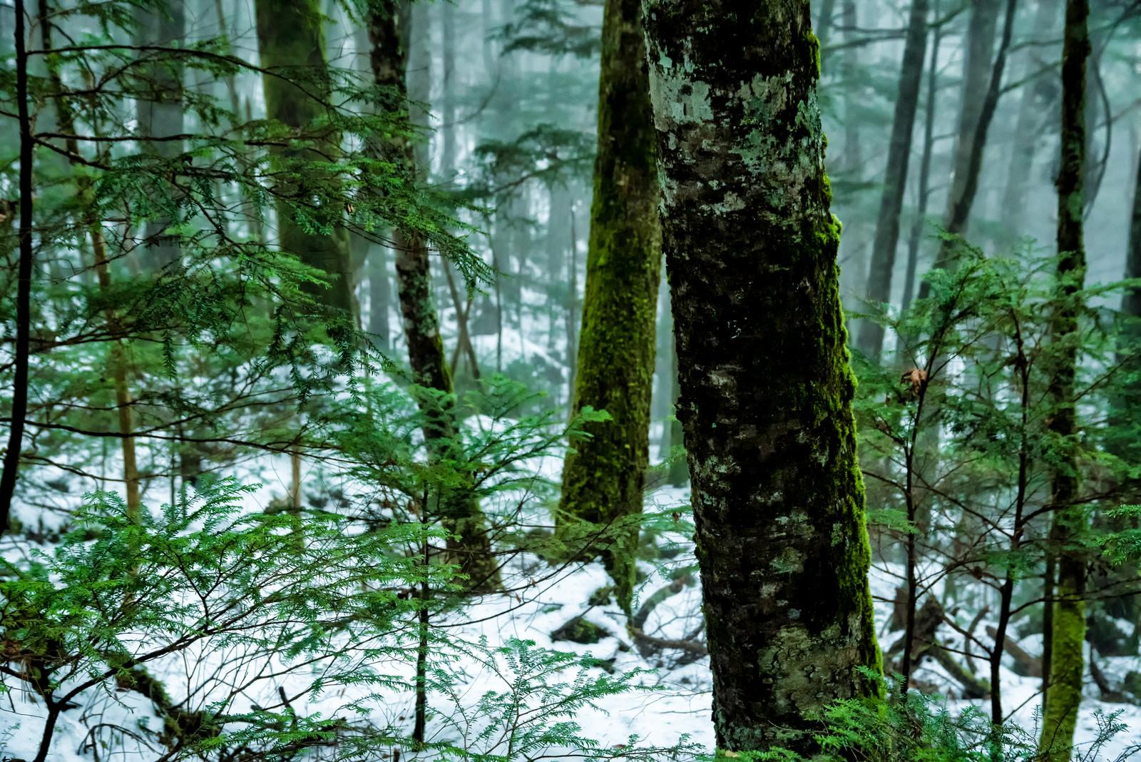 「積雪の森と苔生す木々(北八ヶ岳)」の写真