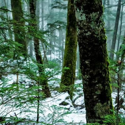 積雪の森と苔生す木々(北八ヶ岳)の写真