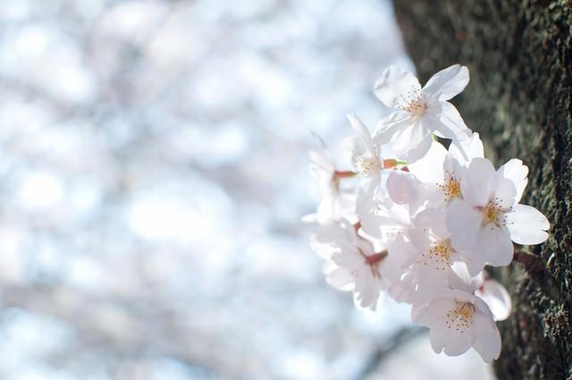 冷たい空と桜の花の写真