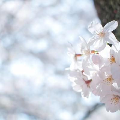 「冷たい空と桜の花」の写真素材