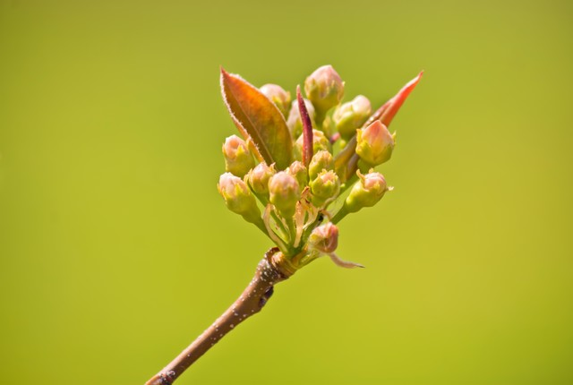 桜のツボミの写真