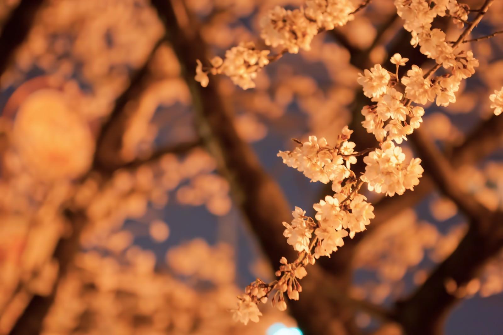 「オレンジ色の光と夜桜」の写真