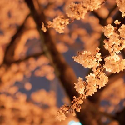 オレンジ色の光と夜桜の写真