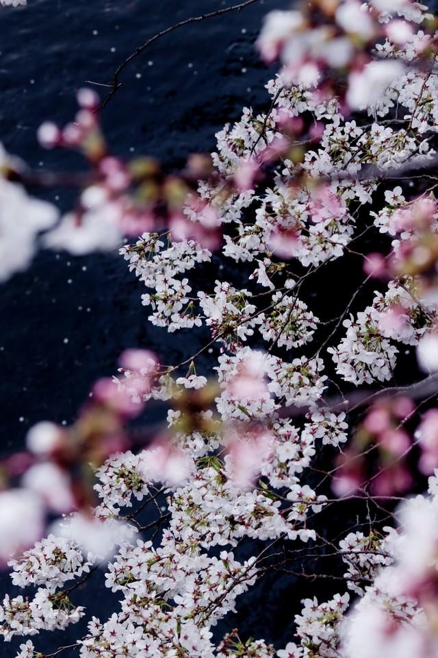 桜が見える川の写真