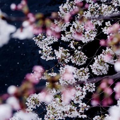 「桜が見える川」の写真素材
