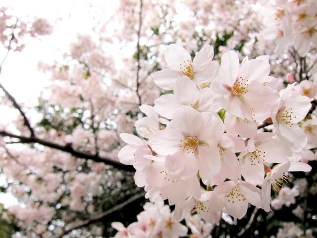 淡いピンク色の桜の写真