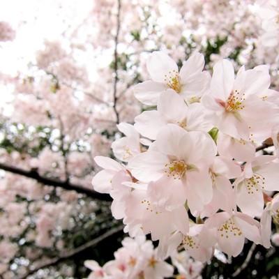 「淡いピンク色の桜」の写真素材