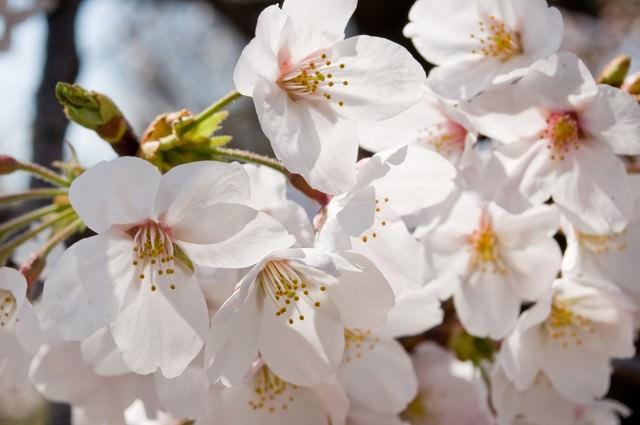花ひらく、(桜)の写真