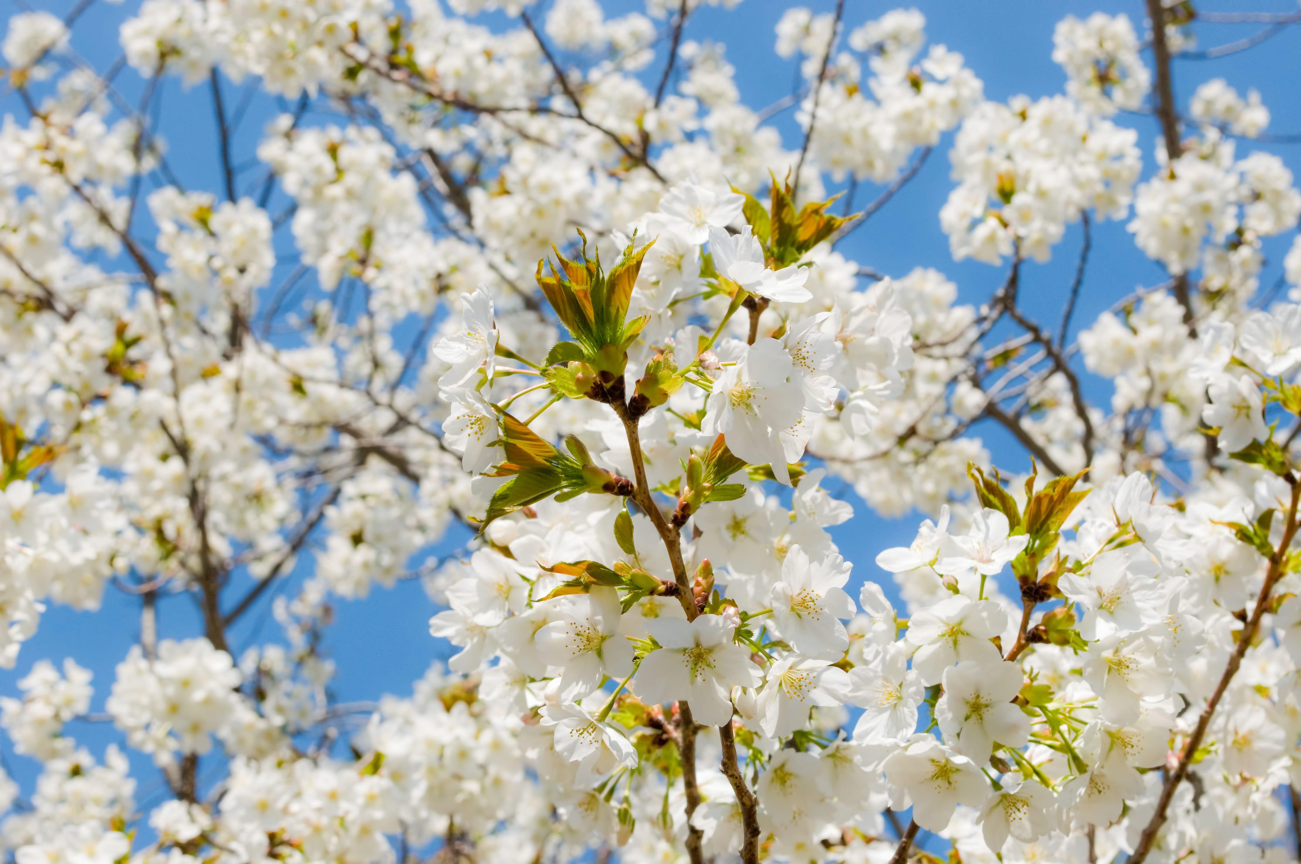 葉桜の写真素材