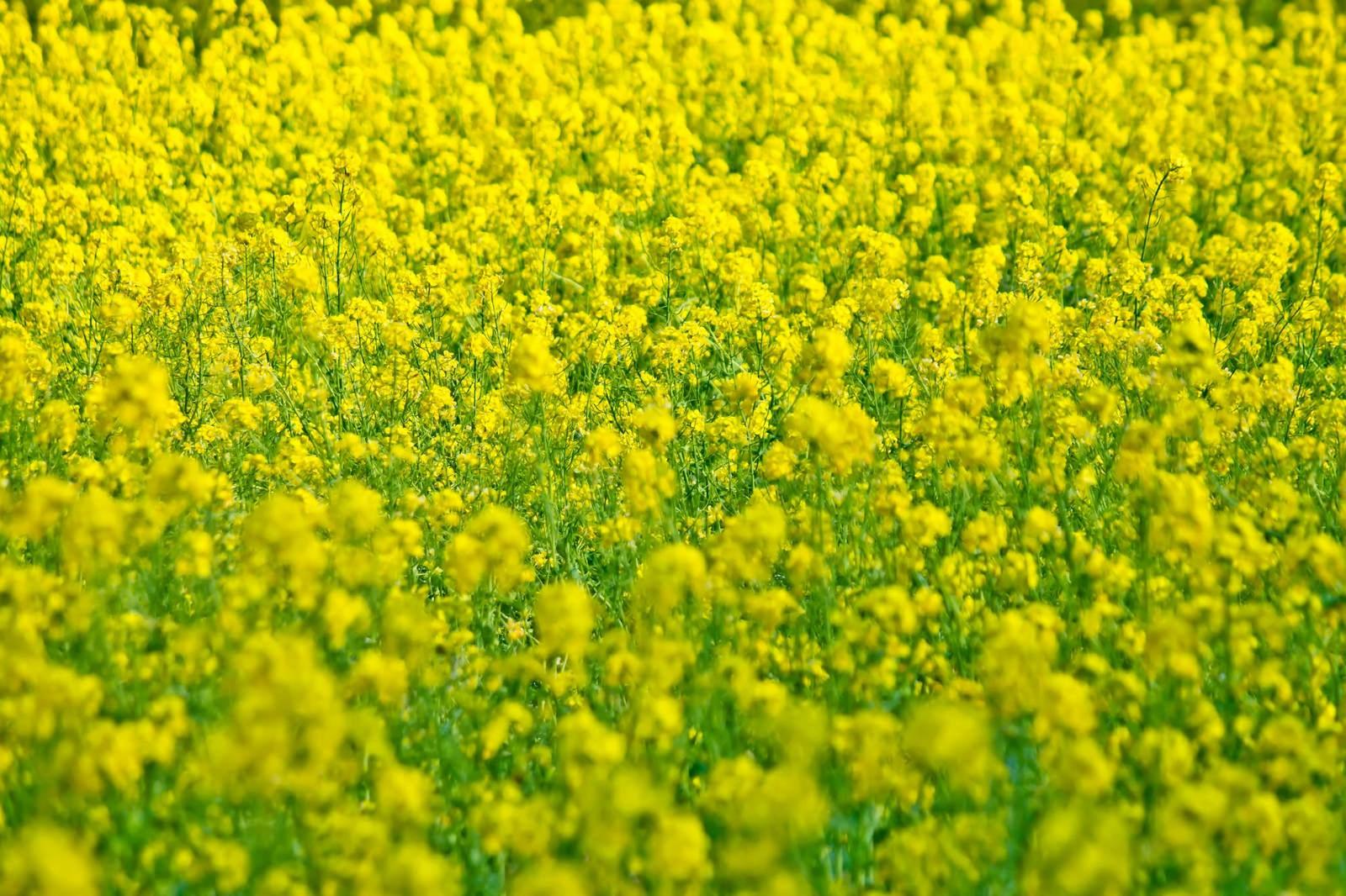 花粉 菜の花