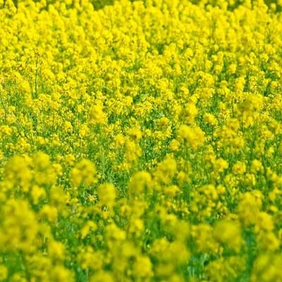 一面に広がる菜の花の写真