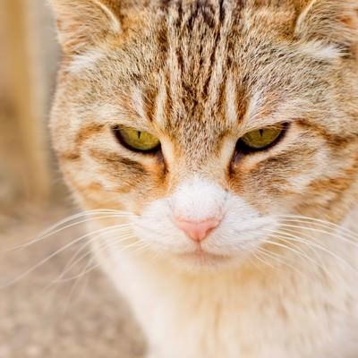 「じっとして時を待つ猫」の写真素材